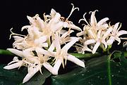 Coffee Flower<br />Coffea Arabica<br />Amazon Rain Forest, PERU.  South America