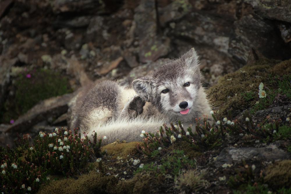 Arctic fox at Spitsbergen