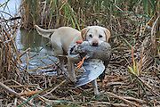 A Yellow Labrador Retriever brings back a banded mallard during a Manitoba hunt.
