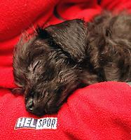 A miniature pinscher - miniature poodle mix puppy..dvergpinscher - dvergpuddel miks hvalp