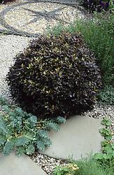 Clipped ball of Pittosporum tenuifolium 'Tom Thumb' with Euphorbia myrsinites, gravel paving and mosaic.