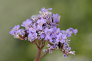 COMMON SEA-LAVENDER Limonium vulgare (Plumbaginaceae) Height to 30cm. Distinctive, hairless perennial that is woody at the base. Entirely restricted to saltmarshes and tolerates tidal inundation. FLOWERS are 6-7mm long and pinkish lilac; they are borne in branched, flat-topped heads on arching sprays (Jul-Sep). FRUITS are capsules. LEAVES are spoon-shaped with long stalks. STATUS-Widespread and locally common in S and SE England but scarce or absent elsewhere.