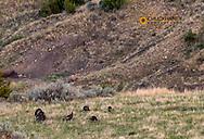 Wild turkey tom with hens in Theodore Roosevelt National Park, North Dakota, USA