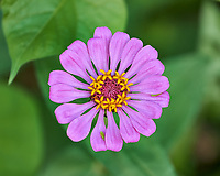 Zinnia flower. Image taken with a Fuji X-H1 camera and 80 mm f/2.8 OIS macro lens