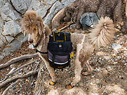 A large poodle dog with a pack. Hike to Shadow Lake (7.5 miles,  1200 ft gain) in Ansel Adams Wilderness, Inyo National Forest. Mammoth Lakes, California, USA.