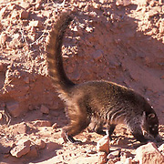 Coati Mundi, (Nasua narica)  Arizona.  Captive Animal.