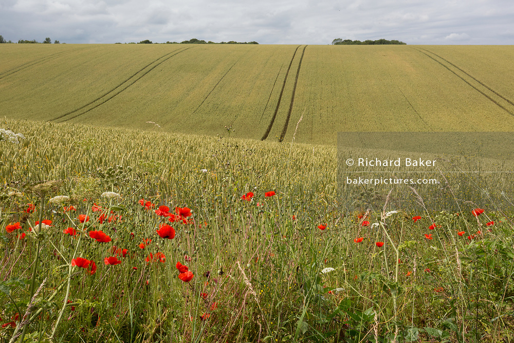 Wild poppies growing on the edge of Kentish agricultural farmland, on 7th July 2019, near Doddington, Kent England