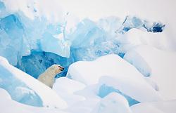 Polar Bear (Ursus maritimus) in front of glacier in Spitsbergen, Svalbard