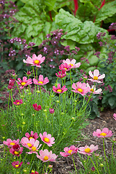 Cosmos bipinnatus 'Antiquity' growing with ruby chard and oregano in a vegetable garden. Origanum 'Rosenkuppel'
