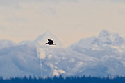 A bald eagle (Haliaeetus leucocephalus) flies with the Coast Mountains of British Columbia, Canada in the background. Thousands of bald eagles winter in British Columbia and along the North Cascades of Washington state, feasting on spawned out salmon.