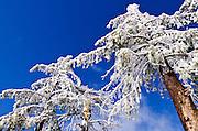 Rime ice on pine trees, San Bernardino National Forest, California