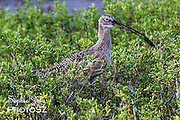 Long-billed Curlew South Padre Island, TX