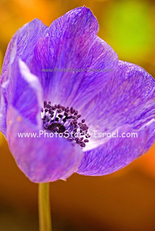 Israel, purple Anemone coronaria, Poppy Anemone, growing in their natural habitat spring 2007