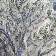 Moss hangs on a tree along the trail e to Col du Taibit Pass between Cirque de Cilaos and Cirque de Mafate