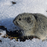 Brown Lemming feeding on dwarf willows in the snow. Nunavut Territory, Canada
