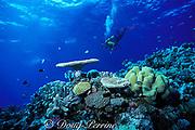 scuba diver swims over coral garden, Flinders Reef, Coral Sea, Queensland, Australia ( Western Pacific Ocean ) MR 205