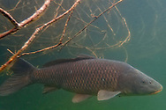 Common Carp<br />