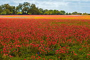 Acres of Indian Paintbrush, a wildflower favorite, spring 2019, Floresville, Texas