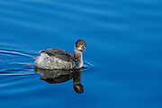 A Common Grebe cruising the shore at Lake Murray.  Still damp from the last dive, it's ready to go again!