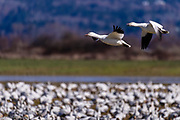 A pair of snow geese glide into land with a large feeding congregation of geese. The second bird is honking constantly while flying. They often call to keep members of their family informed as to where they are.