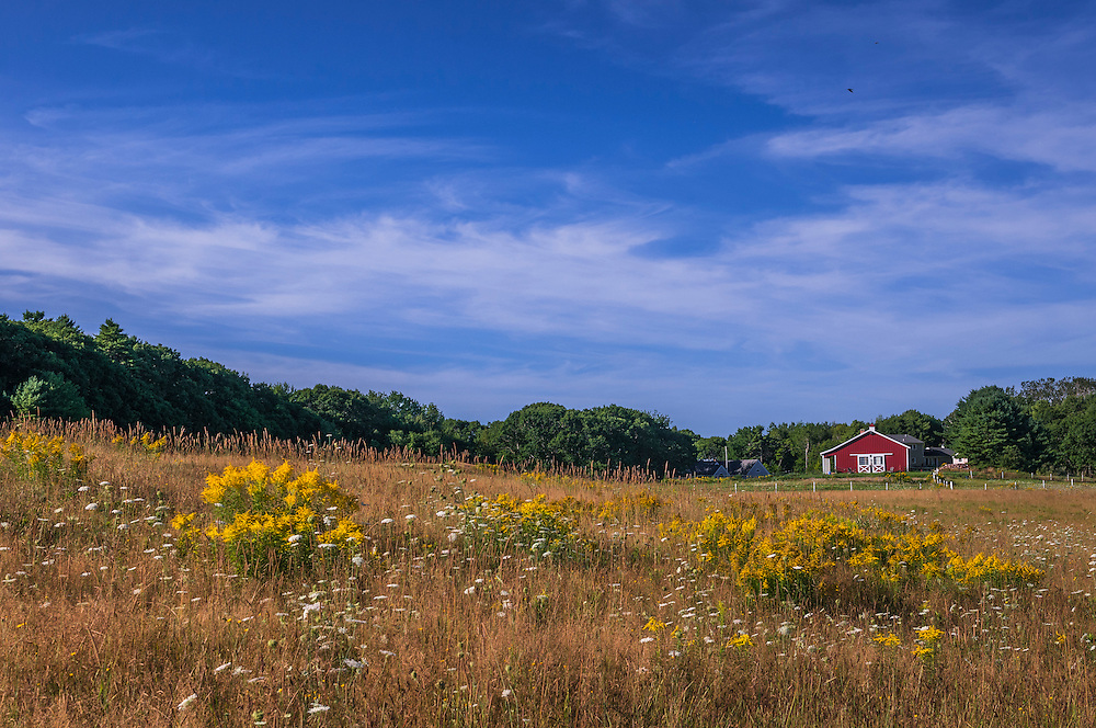 Wildflower field of Queen Annes lace & goldenrod, with views to distant red barn, Brunswick, ME