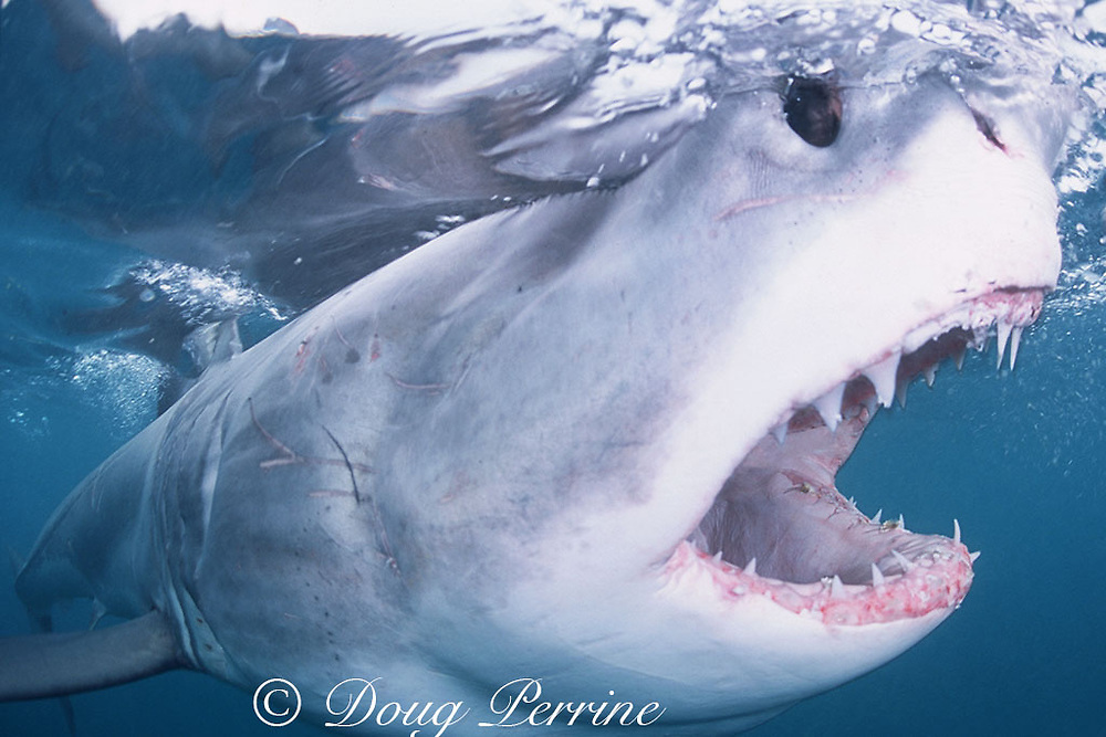 great white shark, white pointer, blue pointer, or man-eater<br /> Carcharodon carcharias, lunging at bait, Dyer Island, Gansbaai, South Africa ( Indian Ocean )