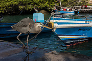 Great blue heron (Ardea herodias)<br /> Fish Market<br /> Puerto Ayora, Santa Cruz Island<br /> GALAPAGOS ISLANDS<br /> ECUADOR.  South America