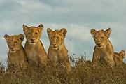 Lion cubs, part of a pride, Serengeti National Park, Tanzania.