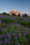 Mt Rainier emerges from a blanket of clouds to glow at sunset above the lupine.