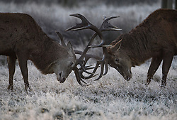 © Licensed to London News Pictures. 02/12/2019. London, UK. Deer rutting as frost covers the landscape at sunrise in Richmond Park in west London on a bright and freezing Winter morning. Photo credit: Ben Cawthra/LNP