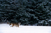 Timber or Grey Wolf ( Canis Lupus ) - Minnesota  USA  wolf on snow landscape , from a distance