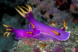 These exquisitely colored nudibranchs, Hypselodoris bullockii, are browsing on a sloping reef. Similan Islands Marine National Park, Thailand, Andaman Sea, Indian Ocean