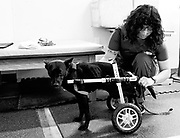 Therapy aid Fabiola fits Roma into her wheelchair at California Animal Rehab, 8/24/21.