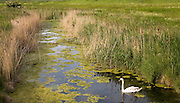Swan swimming in drainage ditch in marshland at Hollesley, Suffolk, England