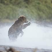 Alaskan Brown Bear (Ursus middendorffi) trying to get past some wolves and fishing for salmon. Alaska