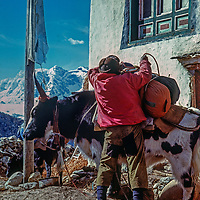 A Sherpas loads a yak in Pangboche village in the Khumbu region of Nepal's Himalaya.