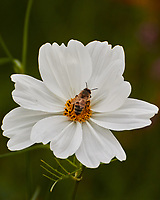Honey Bee feeding on a White Cosmos flowers. Image taken with a Leica CL camera and 23 mm f/2 lens.