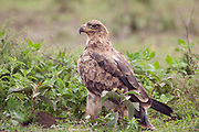 Tawny eagle standing on ground looking round over it's shoulder, Aquila rapax, Serengeti national park, Tanzania<br /> africa<br /> birds<br /> nature<br /> wildlife