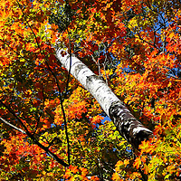 """""""Surrounded""""<br /> <br /> A pure brilliant and inviting autumn image! A sunlit Birch tree trunk surrounded by vibrant and colorful Maple leaves set against a deep blue sky!!<br /> <br /> Fall foliage by Rachel Cohen"""