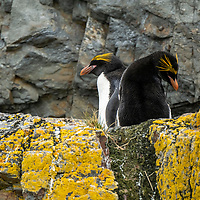 Two macaroni penguins. Exploration at Hercules Bay on the north coast of South Georgia Island.