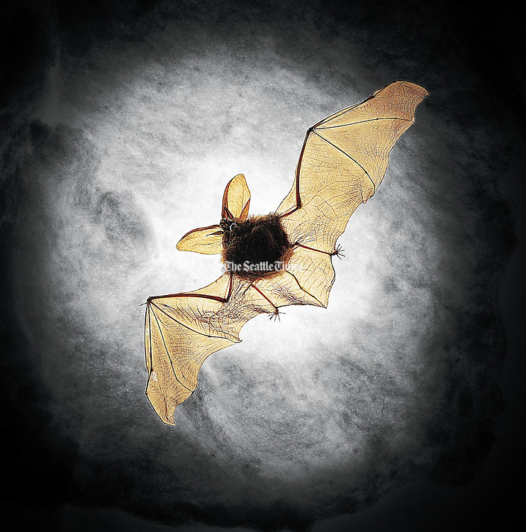 Barbara Ogaard collected this Townsend's big-eared bat after its death, hoping that, in learning more about bats, people would grow to share her affection for them. (Tom Reese / The Seattle Times)