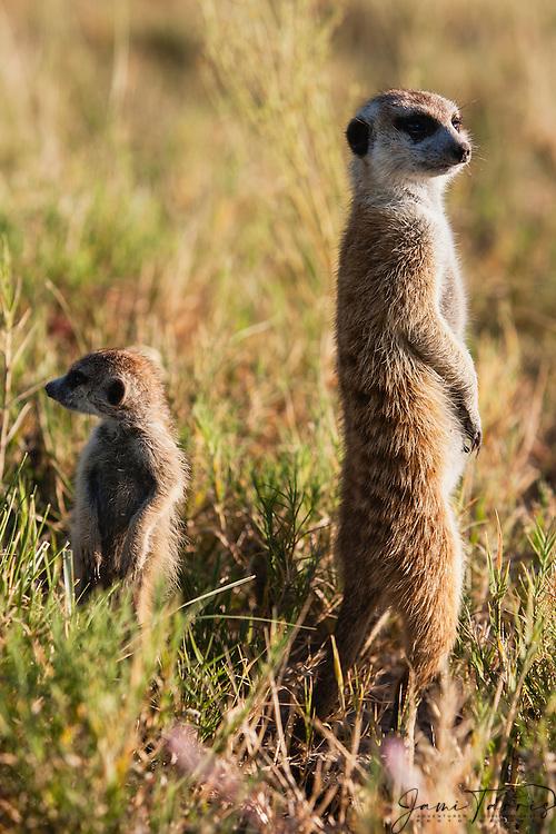 A family clan of meerkats and pups (Suricata suricatta) on sentry duty  in the Makgadikgadi Pan of the Kalahari, Botswana, Africa