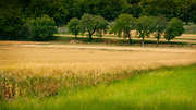 Trees form a line in a wheatfield, Assisi, Italy