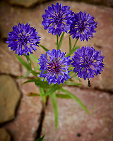 Cornflower (Bachelor Button) Flower. Image taken with a Nikon D850 camera and 105 mm f/2.8 VR macro lens