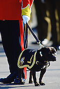 Staffordshire Bull Terrier, dog mascot of South Staffordshire Regiment, Shrewsbury, England, United Kingdom.