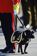 Staffordshire Bull Terrier, dog mascot of South Staffordshire Regiment, Shrewsbury, England, United Kingdom.