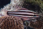 Ostorhinchus nigrofasciatus (Blackstripe Cardinalfish)