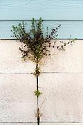 wild weeds growing in bwtween the cracks of the floor outdoors