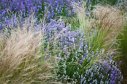 Lavandula × intermedia 'Impress Purple' with Stipa tenuissima