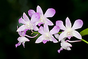 Orchid, Schomburgkia lueddemannii, Panama, Central America, Gamboa Reserve, Parque Nacional Soberania